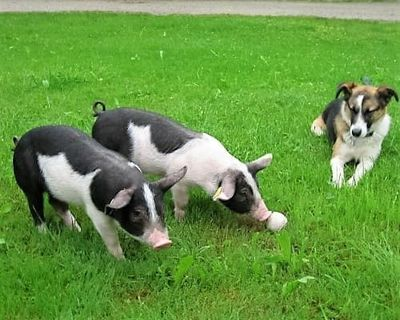 Pigs in the meadow